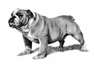pencil-drawing-of-a-bulldog-joyce-geleynse